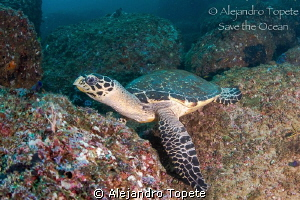 Turtle resting on the rock, Acapulco Mexico by Alejandro Topete 